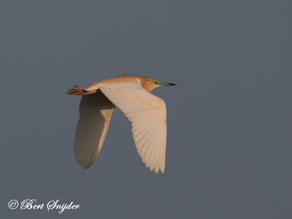 Squacco Heron Birding Portugal