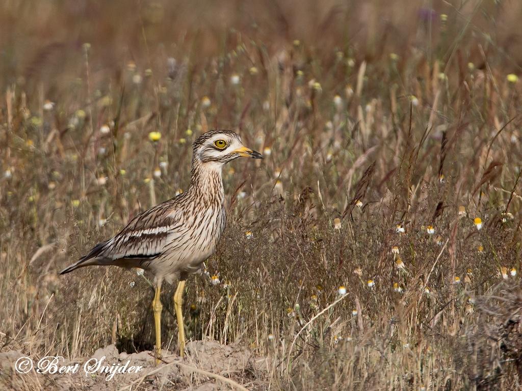 Stone Curlew Birding Portugal