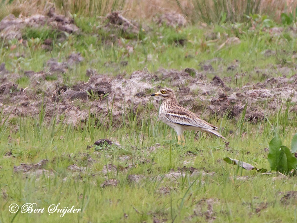 Stone Curlew Bird Hide BSP2 Portugal