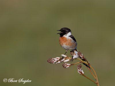 Stonechat Birding Portugal