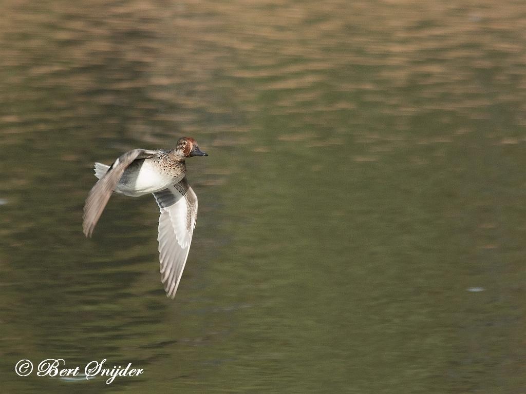 Teal Birding Portugal