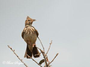 Thekla Lark Birding Portugal