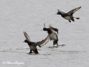 Tufted Duck Birding Portugal
