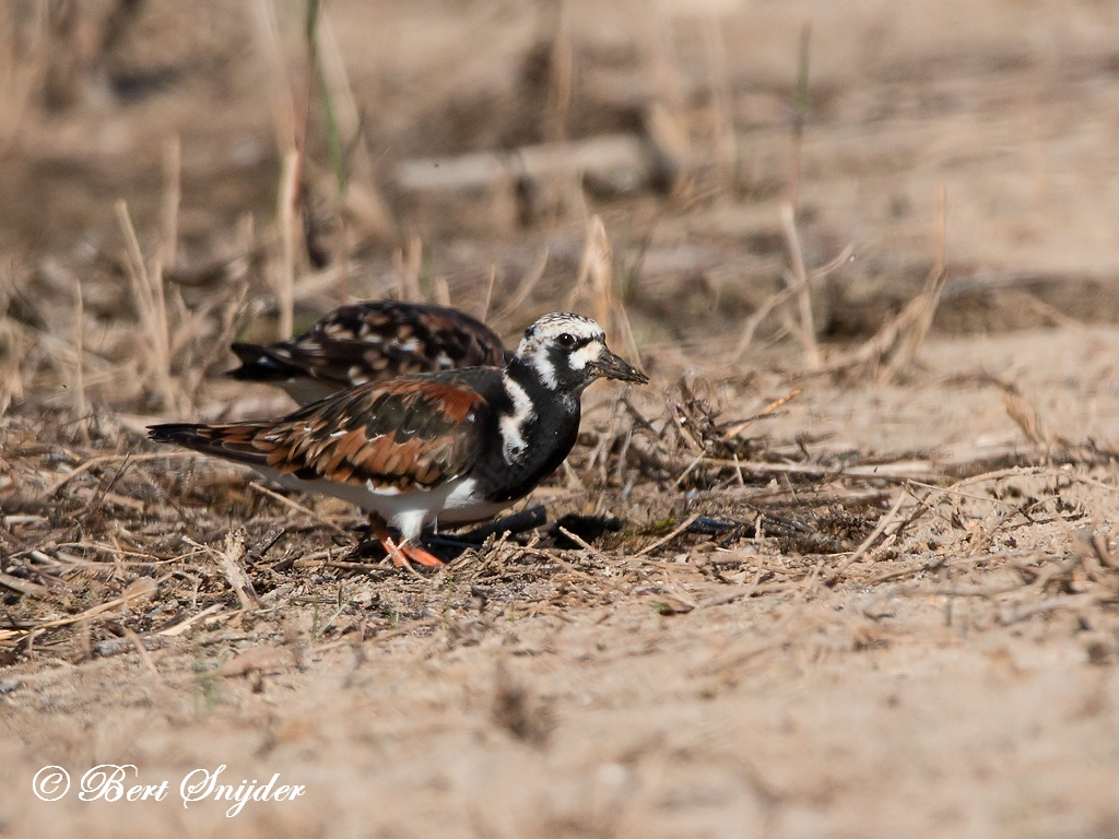 Turnstone Bird Hide BSP3 Portugal