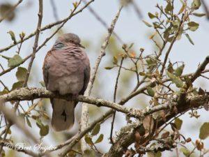 Turtle Dove Birding Portugal