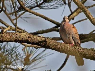 Turtle Dove Birding Portugal