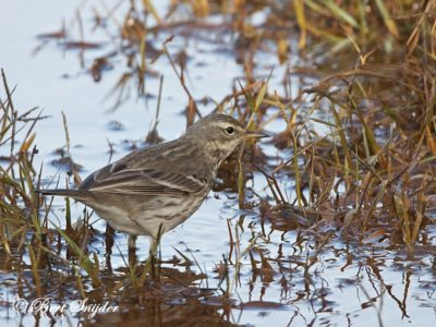 Water Pipit Birding Portugal