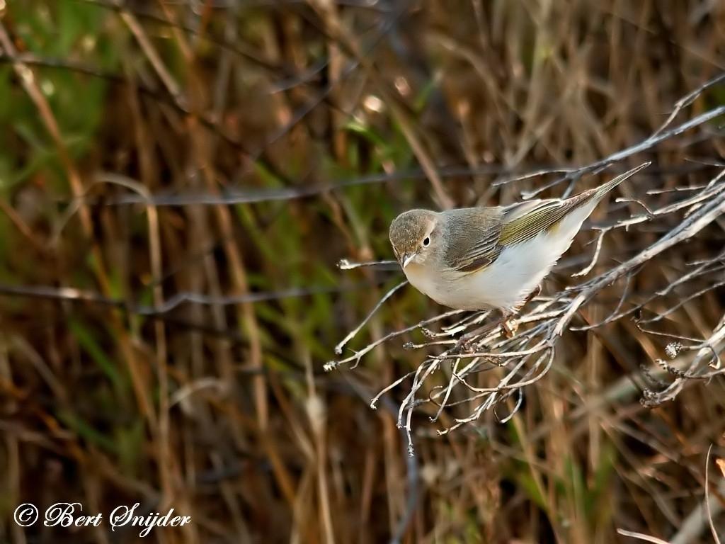 Western Bonelli´s Warbler Bird Hide BSP1 Portugal