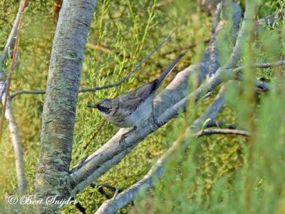 Western Orphean Warbler Birding Portugal