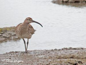Whimbrel Birding Portugal