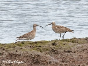 Whimbrel Birding Portugal