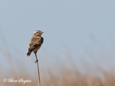 Whinchat Birding Portugal