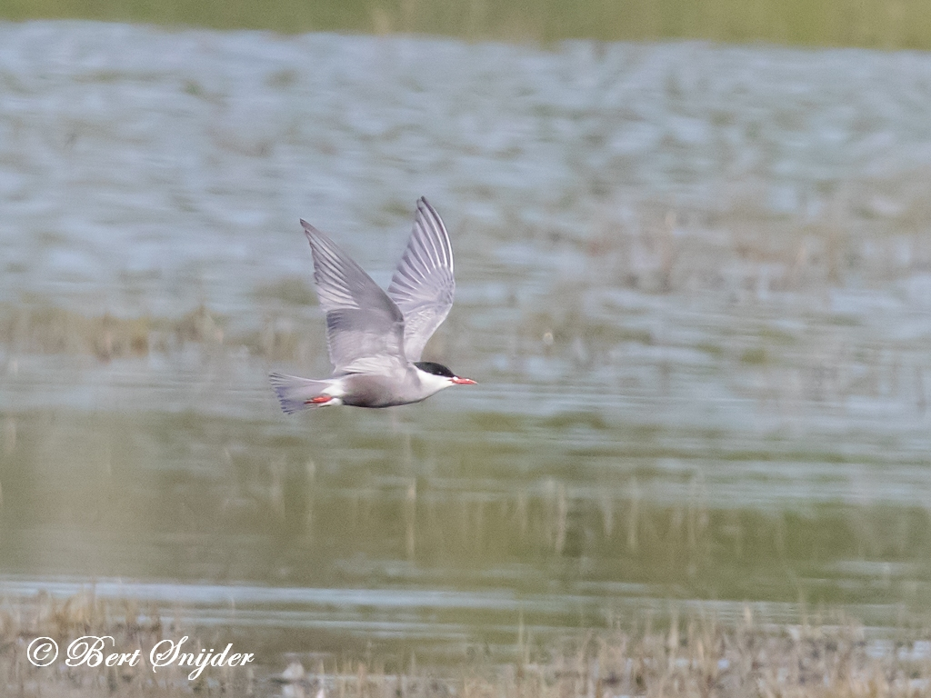 Whiskered Tern Birding Portugal
