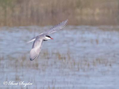 Whiskered Tern Birding Portugal