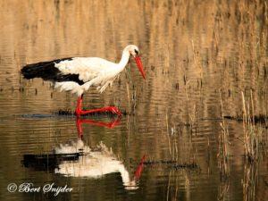 White Stork Birding Portugal