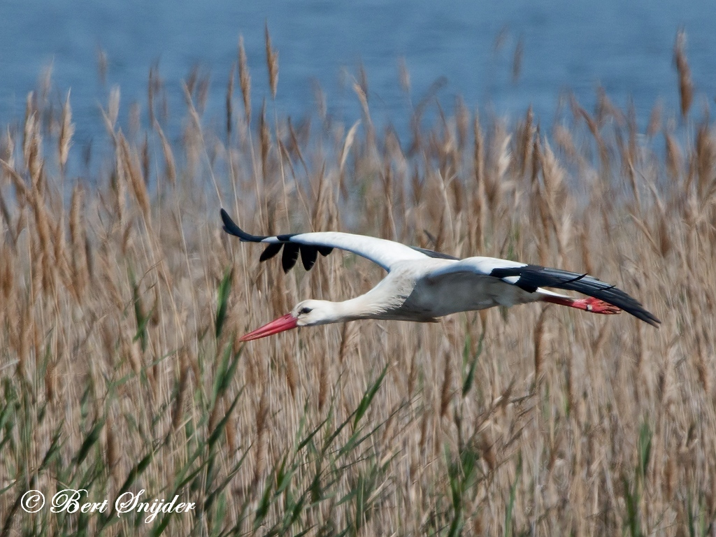 White Stork Bird Hide BSP2 Portugal