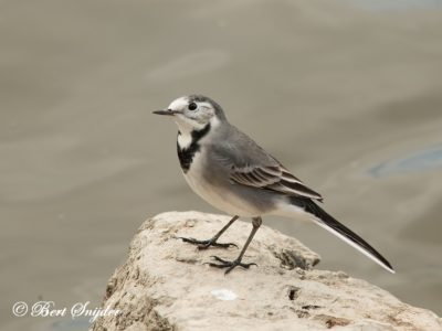 White Wagtail Birding Portugal