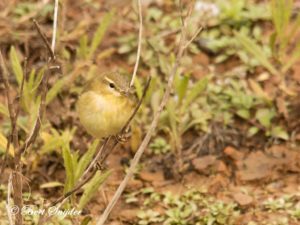 Willow Warbler Birding Portugal