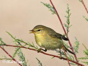Willow Warbler Birding Portugal