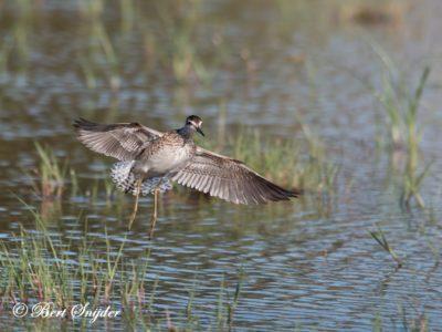 Wood Sandpiper Birding Portugal