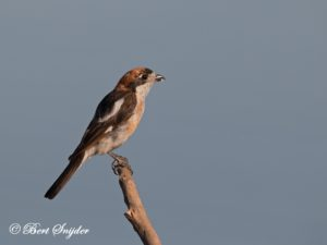 Woodchat Shrike Birding Portugal
