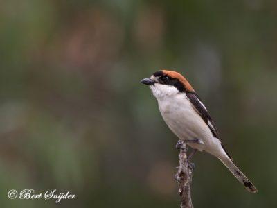 Woodchat Shrike Birding Portugall