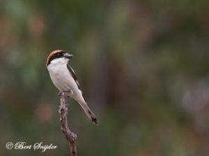Woodchat Shrike Birding Portugal
