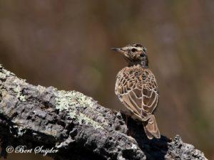 Woodlark Birding Portugal