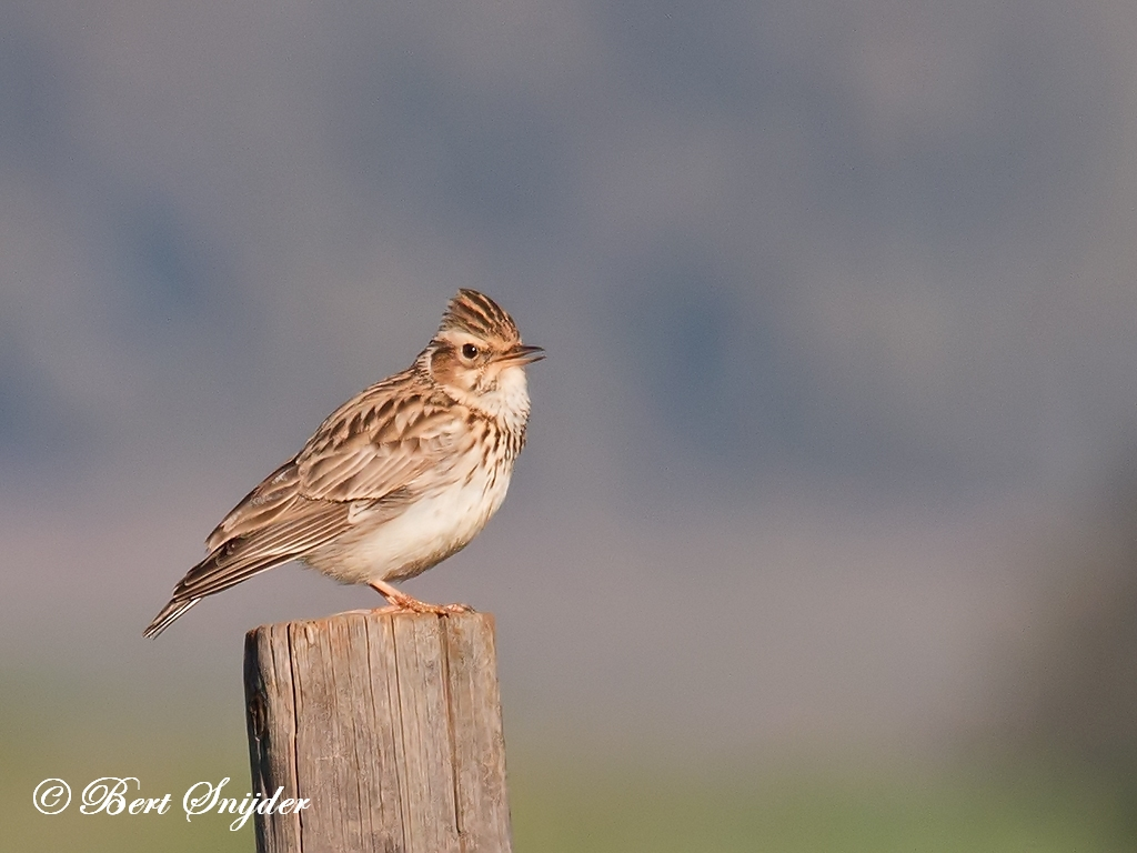 Woodlark Birding Portugal
