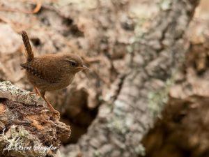 Wren Birding Portugal