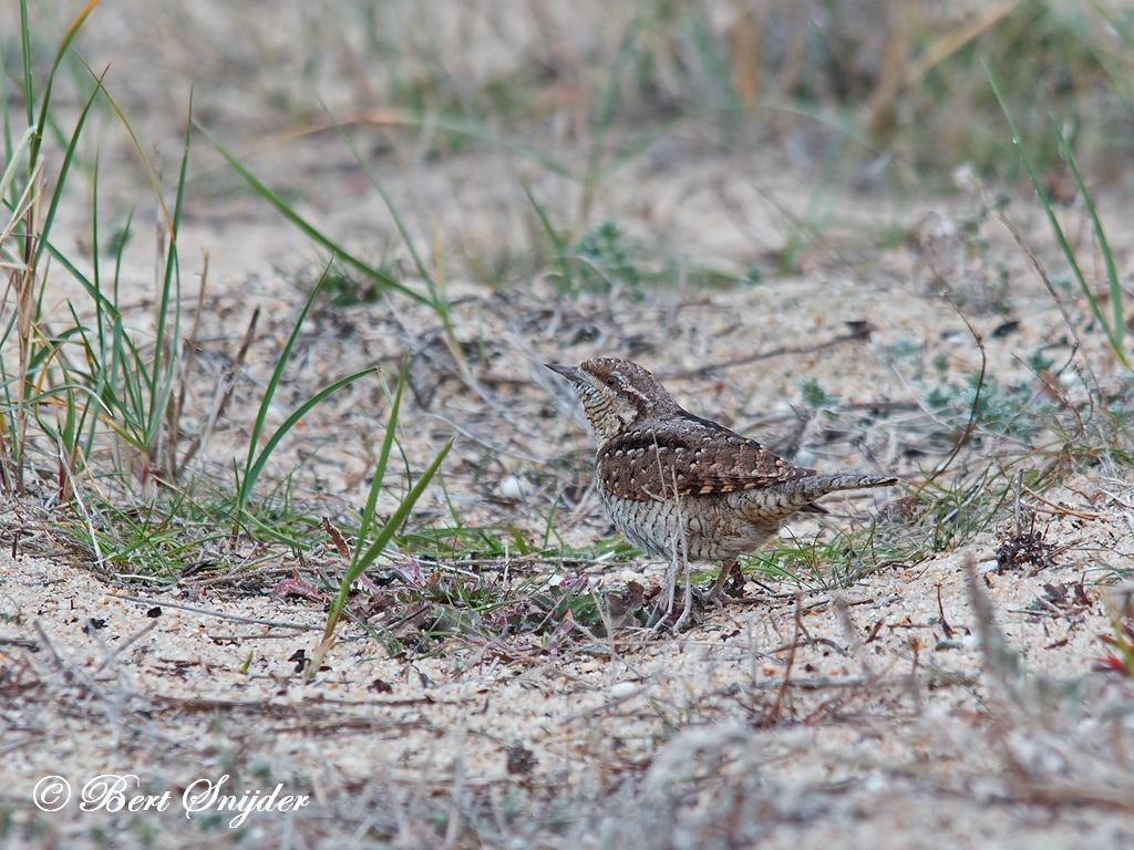 Wryneck Birding Portugal