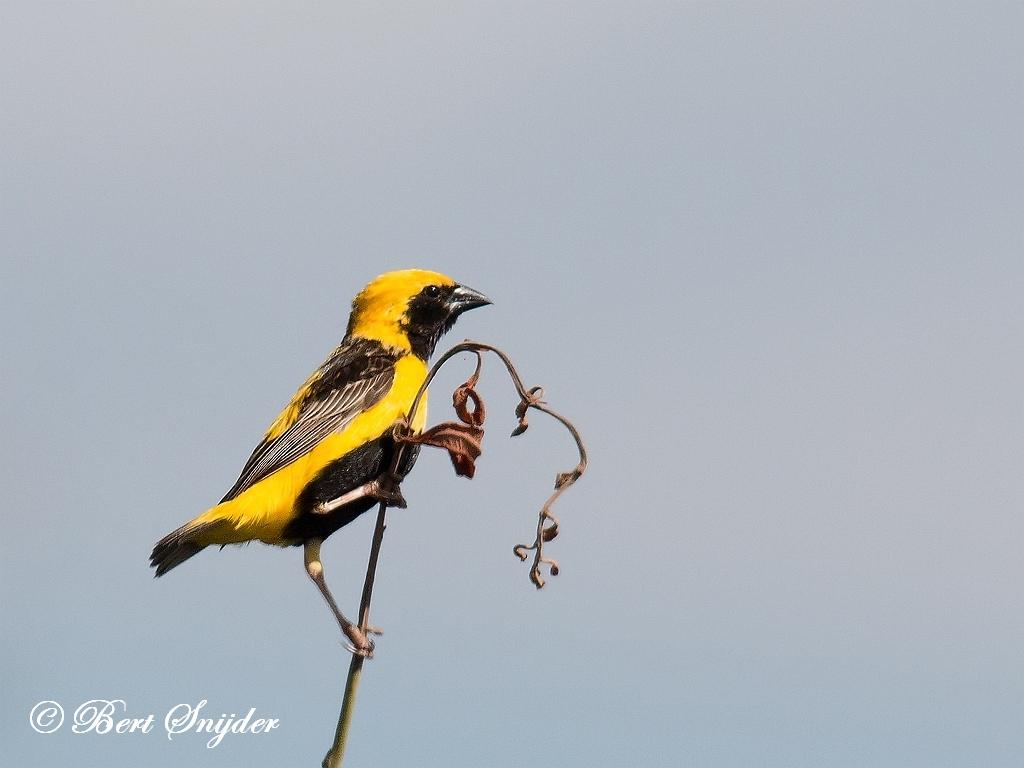 Yellow-crowned Bishop Birding Portugal