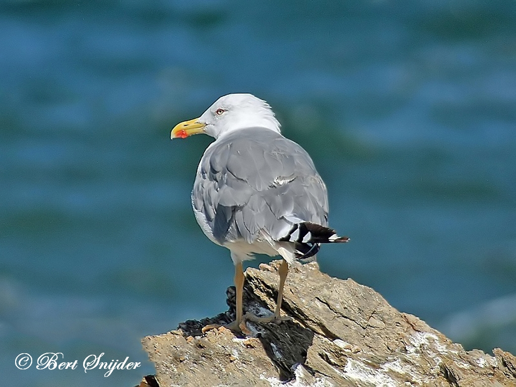 Yellow-legged Gull Birding Portugal