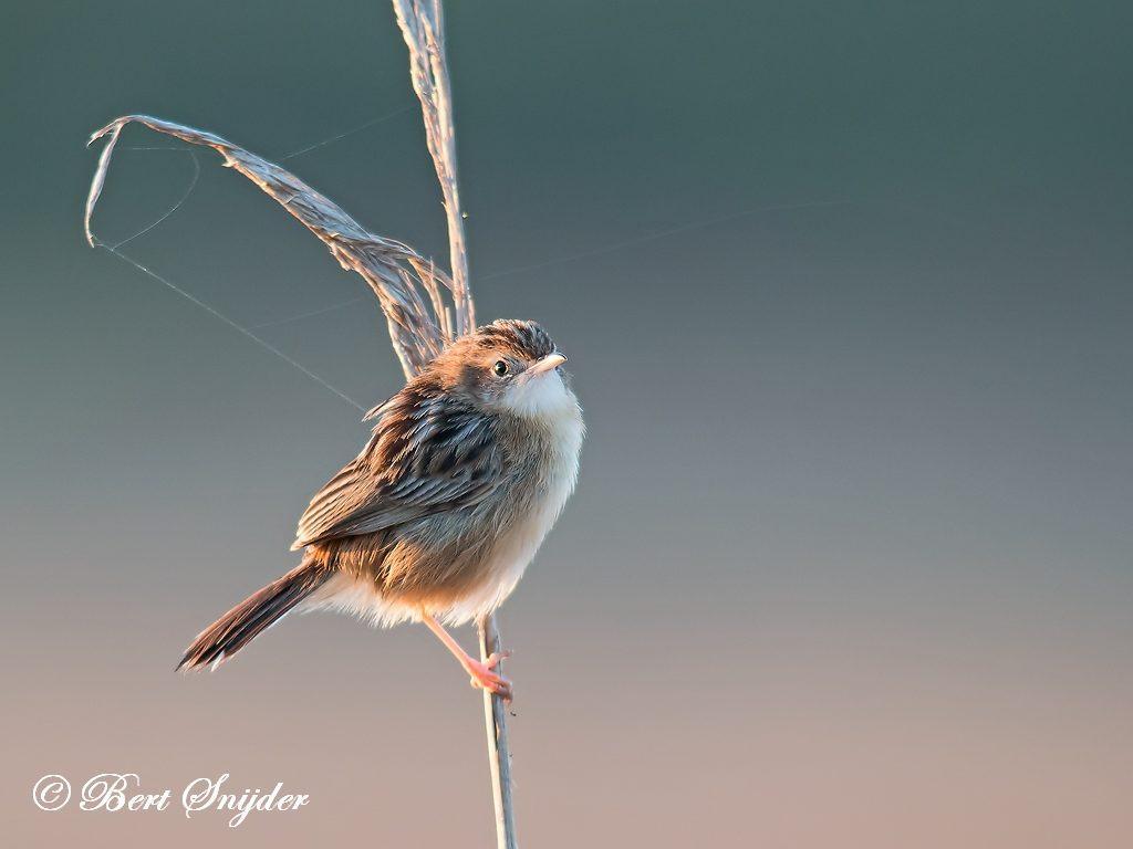 Zitting Cisticola Bird Hide BSP3 Portugal