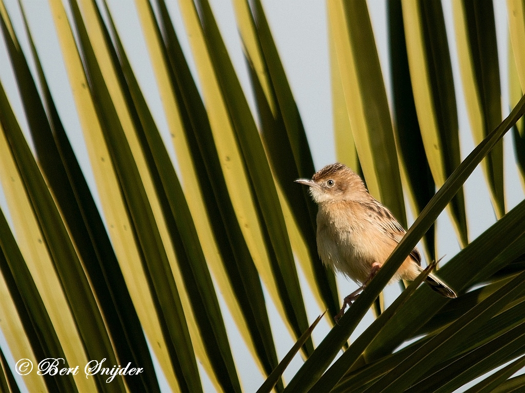 Zitting Cisticola Birding Portugal
