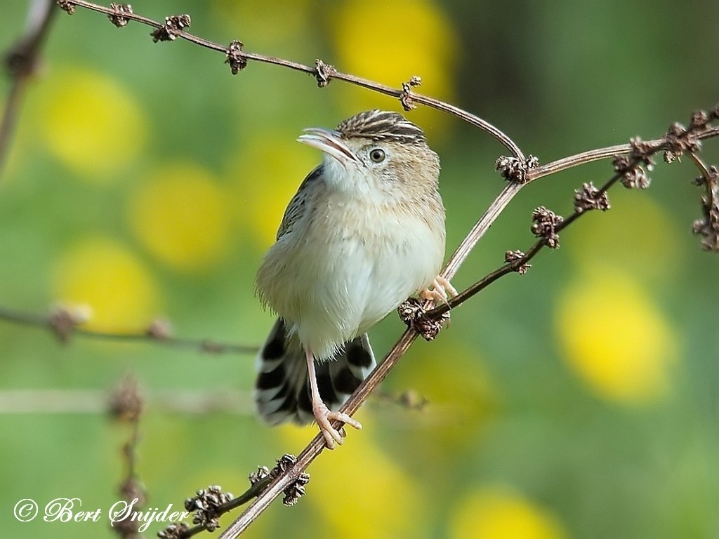 Zitting Cisticola Bird Hide BSP1 Portugal