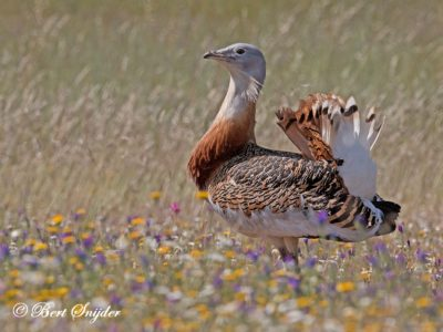 Great-Bustard Birding Portugal